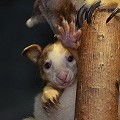 Pal Joeys: Two New Kangaroo Babies at the Saint Louis Zoo