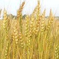 Monsanto to Make Drought-Resistant Wheat