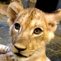 Cincinnati Zoo Names Lion Cub In Honor of St. Louis Zookeeper