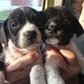 Stray Rescue: 22 Dogs Rescued from North, East, South St. Louis This Weekend