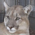 Missouri Trapper Nets Mountain Lion; Animal Released Into Wild