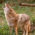 Coyote Spotted In Maplewood
