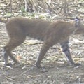 [PHOTO] Wild Bobcat Prowls Near Missississippi River. How Common are These Big Felines?