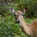 Fewer Collisions Between Missouri Drivers, Deer This Year: Study