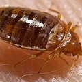 Report: Big Increase in Bed Bugs in St. Louis