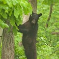 Get Ready for Missouri Summers Filled with Black Bears