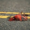 Rock Bottom Redbirds