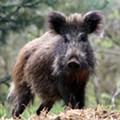Top Five Shocking Facts about Missouri's War Against Feral Hogs