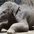 Awwwh! Saint Louis Zoo Elephant Gives Birth to Baby