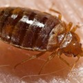 Bed Bugs Infest St. Louis Emergency Communications Center, 23 Evacuated