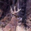 Doe! Missouri Department of Conservation Raps -- And Chills With Gender-Bending Deer