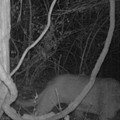 Cougar Sighted in St. Louis Suburb (And No It Wasn't Picking Up Young Men at a Bar)