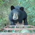 VIDEO: Missouri Bear Joins Hunter in Tree Stand