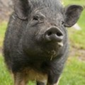 Pot-Bellied Pig Killed by Cop in Fairview Heights After Month-Long Pursuit