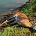 Thousands of White-Tailed Deer Killed by Horrible-Sounding Disease