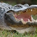 Police Valiantly Attempt to Exterminate Concrete Alligator
