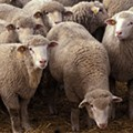 "St. Louis May Approve Sheep as Urban Farming Animal; ""Better Companions"" Than Goats!"