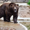 RIP Bert: Grizzly Bear Rescued from Alaska Dies at Saint Louis Zoo