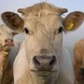 E. Coli Prompts Beef Recall