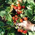 Three Washington Strawberry Farms Busted for Child Labor Violations