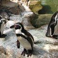 St. Louis Weather Is Officially Too Cold For the Penguins at the Zoo