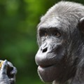 Even the Saint Louis Zoo's Animals Get Vaccinated Against COVID-19