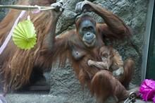Saint Louis Zoo Party for Baby Orangutan 'Ginger'