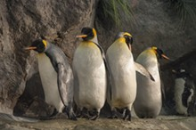 Reopening St. Louis Zoo's Penguin & Puffin Coast