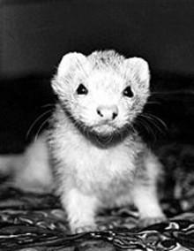 LAURA  HAMLETT - Touch the ferret