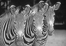 CHUCK  DRESNER - Jammin' at the Zoo means boozing it up for Grevy's zebras