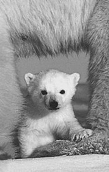 Polar-bear cub, featured in - Art Wolfe's - The Living Wild