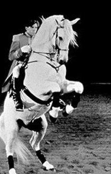 A Lipizzan stallion performs the levade.