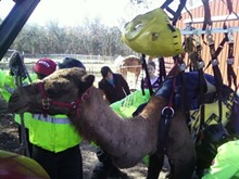 ROGER VINCENT - MERS' in the process of rescuing a camel last fall.