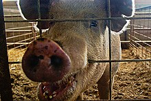 MICHELLE HUDGINS - The co-op's sows, like this Tamworth/Swedish Landrace, give birth in spacious straw-filled pens.