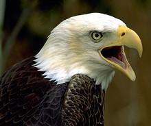 690791c3_bald_eagle_cropped.jpg