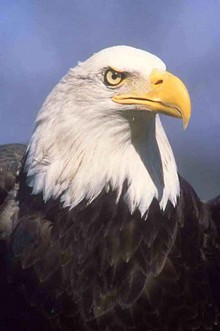 e010cc45_bald_eagle.jpg