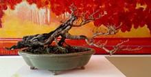 ac184a38_bonsai_1.jpg