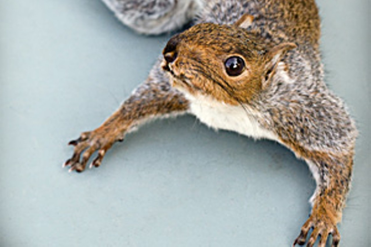 Mount My Squirrel! Local taxidermist Rick Nadeau has a lot of fun ...
