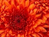 chrysanthemum_jpg-magnum.jpg