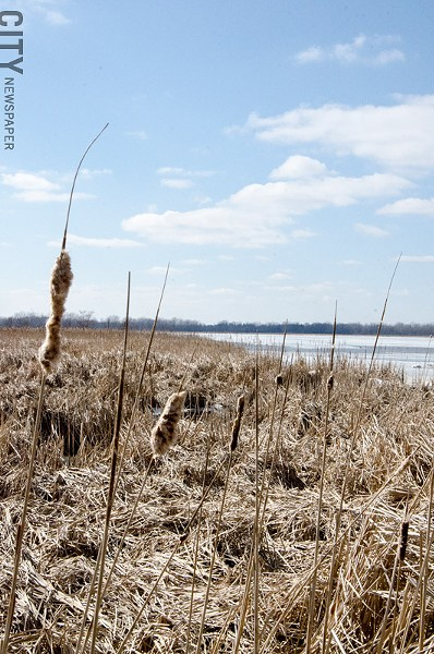 Cattails dominate the marsh areas along Buck Pond - PHOTO BY MARK CHAMBERLIN