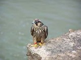 PHOTO BY JIM PISELLO - Pride perched on the edge of the gorge.