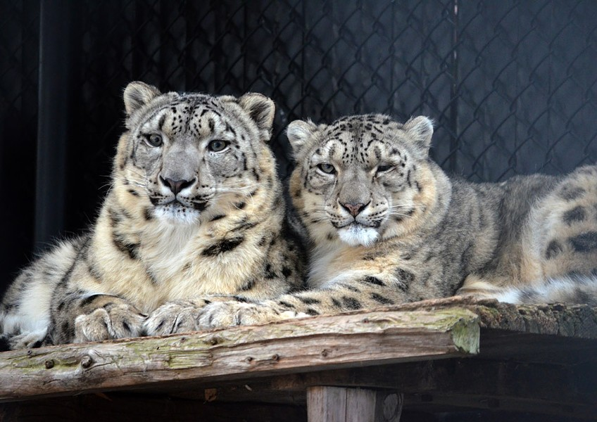 Snow leopards at the Seneca Park Zoo. - PHOTO COURTESY KELLI O'BRIEN / SENECA PARK ZOO