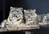 Snow leopards at the Seneca Park Zoo. - PHOTO COURTESY KELLI O'BRIEN / SENECA PARK ZOO
