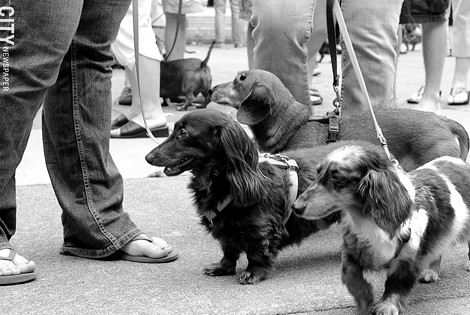 The Dachshund Parade - PHOTO BY MATT DETURCK