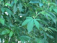 Cuomo revises proposal for marijuana legalization