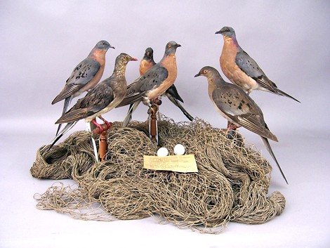 RMSC's collection of passenger pigeon specimens has been tapped to help in the effort of bringing the extinct bird back to life. - PHOTO PROVIDED