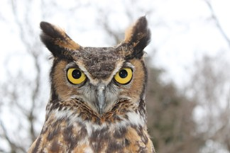 wildwings_gerhard-the-great-horned-owl_photo-provided.jpg