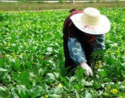 A migrant farmworker. - PHOTO PROVIDED BY WAMC.ORG