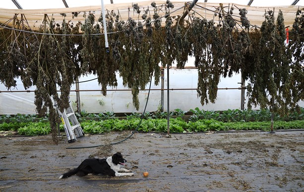 CBD buds left on drying racks at a farm in Spencerport. - PHOTO BY MAX SCHULTE