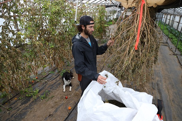 Zach Sarkis inspecting dried hemp plants at his farm in Spencerport. - PHOTO BY MAX SCHULTE
